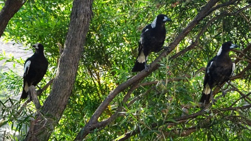 Magpies Garden Canberra Australia 4th December 2015 Sonya Heaney