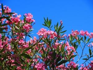 Pink Flowers Garden Canberra Australia Sonya Heaney 29th December 2015 Summer Hot Blue Sky Nature