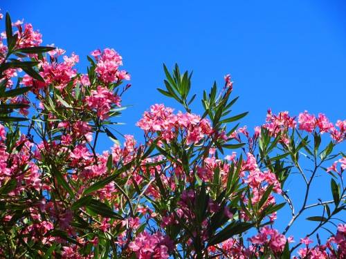 Pink Flowers Garden Canberra Australia Sonya Heaney 29th December 2015 Summer Hot Blue Sky Nature