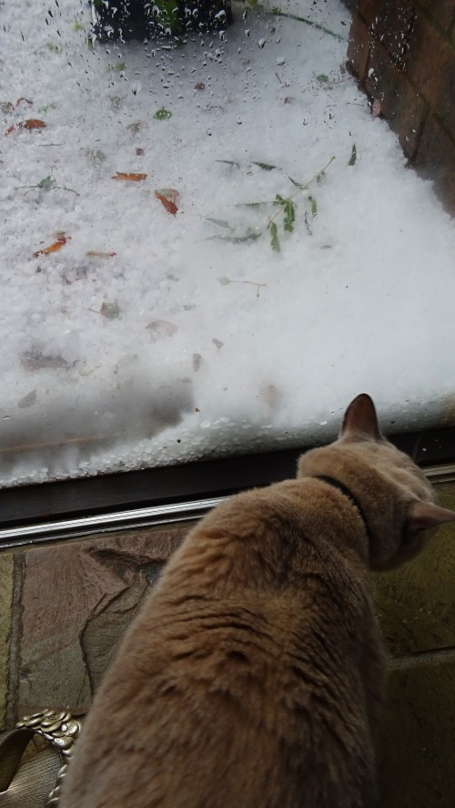 Hail Storm Gowrie Tuggeranong Canberra Australia Summer 25th January 2015 Sonya Heaney Nature Rex Burmese Cat