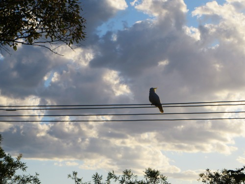Sulphur-crested cockatoo Tuggeranong Canberra Australia Sonya Heaney 20th February 2016 Sunset Sky Clouds Summer Nature