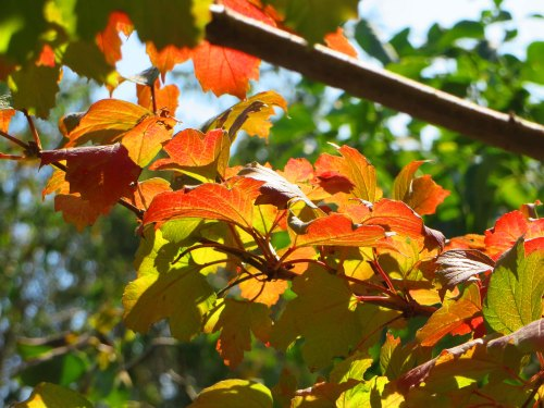 Autumn Leaves Garden Canberra Australia 6th April 2016 Sonya Heaney Nature