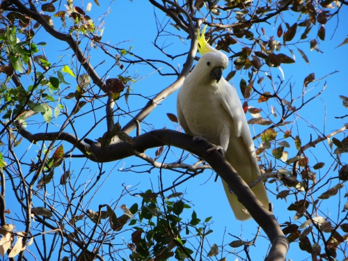 Sulphur-Crested Cockatoo Garden Tuggeranong Canberra Australia Sonya Heaney 13th April 2016 Autumn Bird Blue Sky Gum Eucalyptus Tree Nature