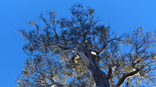 Gum Eucalyptus Tree Canbera Australia Winter Sun 25th June 2016 Sonya Heaney.