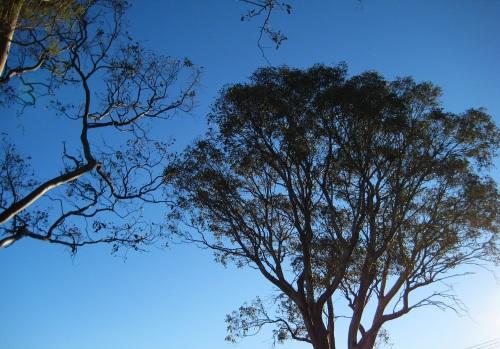Winter Blue Sky Sun Trees Canberra Australia 15th July 2016 Sonya Haeney.