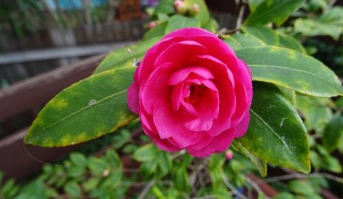 Winter Flower Sonya Heaney Canberra Australia 4th July 2016 Garden Nature