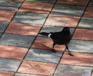 Currawong Canberra Australia 25th August 2016 Sonya Heaney DSC06725