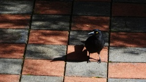 Currawong Canberra Australia 25th August 2016 Sonya Heaney DSC06727