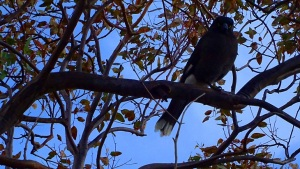 Currawong Canberra Australia 25th August 2016 Sonya Heaney DSC06740