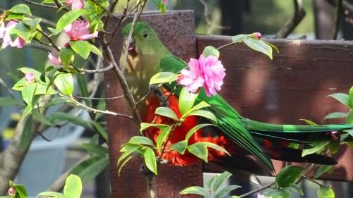 King Parrot Canberra Australia Sonya Oksana Heaney 9th August 2016 Winter Flowers Garden Nature 1