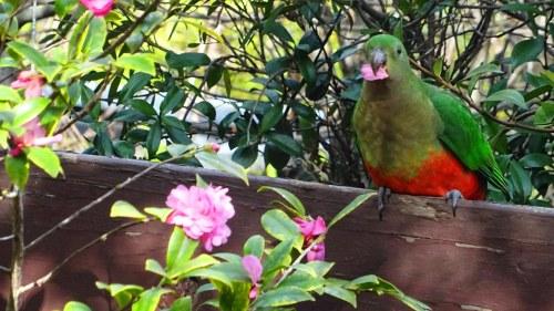 King Parrot Canberra Australia Sonya Oksana Heaney 9th August 2016 Winter Flowers Garden Nature 2