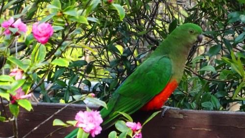 King Parrot Canberra Australia Sonya Oksana Heaney 9th August 2016 Winter Flowers Garden Nature 4