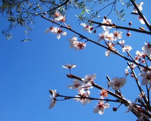 blossoms-canberra-australia-5th-september-2016-sonya-heaney-blue-sky-flowers-garden-nature