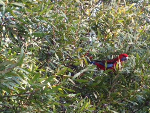 crimson-rosellas-parrots-birds-canberra-australia-sonya-heaney-5th-september-2016-garden-nature