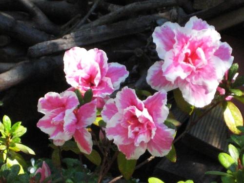 Spring Canberra Australia Garden Flowers Blue Sky Sun Sonya Heaney 5th September 2016 IMG_0292