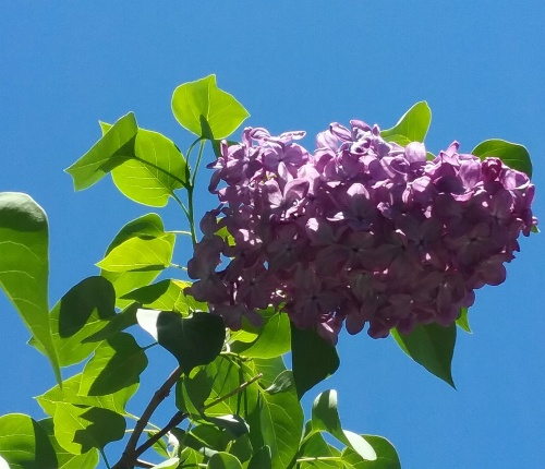 spring-lilac-canberra-australia-blue-sky-sonya-heaney-garden-flowers-nature-27th-october-2016