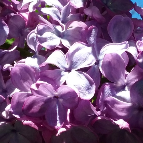 spring-lilac-canberra-australia-sonya-heaney-garden-flowers-nature-27th-october-2016