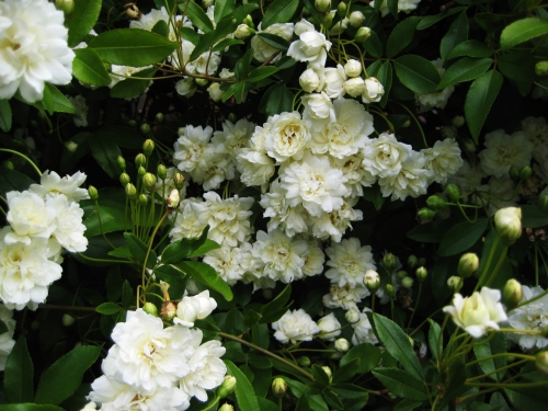 white-roses-canberra-australia-sonya-heaney-spring-garden-18th-october-2016-nature