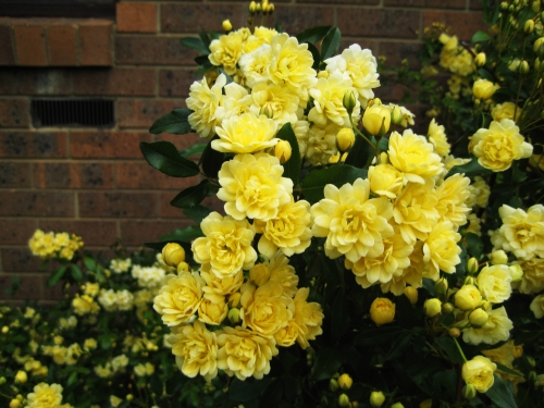 yellow-roses-canberra-australia-sonya-heaney-spring-garden-18th-october-2016-nature