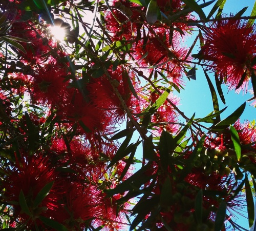 bottlebrush-end-of-spring-canberra-australia-sunnyafternoon-sonya-heaney-21st-november-2016