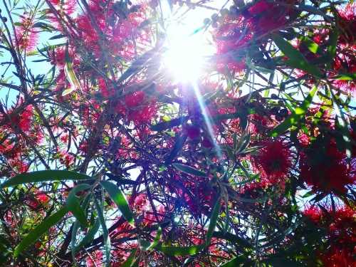end-of-spring-in-canberra-australia-21st-november-2016-sonya-heaney-bottlebrush-flowers-garden-nature-sun