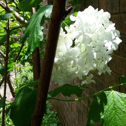 the-end-of-spring-late-bloomer-white-flowers-canberra-australia-sonya-heaney-garden-nature-15th-november-2016