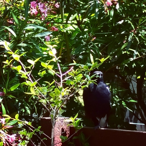 magpie-summer-afternoon-canberra-australia-garden-sonya-heaney-19th-december-2016-australian-animals-bird-nature