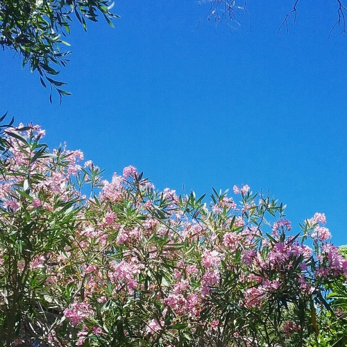 canberra-australia-sunny-afternoon-summer-pink-flowers-12th-jannuary-2016-sonya-heaney-blue-sky-hot-day-garden-nature