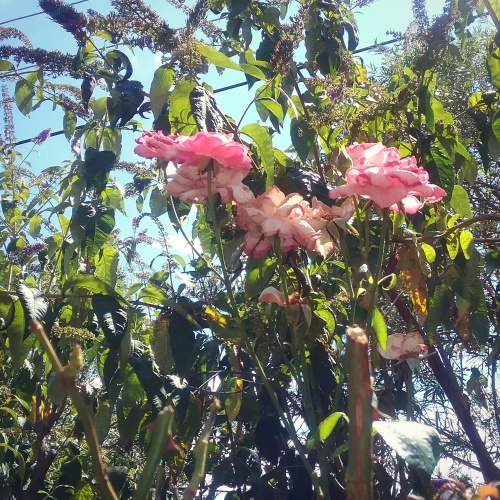 canberra-summer-too-hot-for-roses-australia-sonya-heaney-17th-january-2017-garden-nature