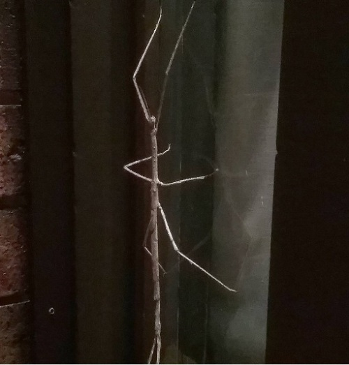 enormous-stick-insect-this-evening-measure-its-size-by-the-bricks-canberra-australia-nature-stickinsect-summer-cbr