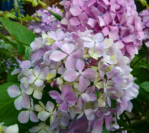 hydrangeas-summer-flowers-canberra-australia-1st-january-2017-sonya-heaney-garden-nature