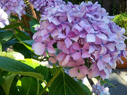 hydrangeas-summser-canberra-australia-sonya-heaney-3rd-january-2016-garden-flowers-nature