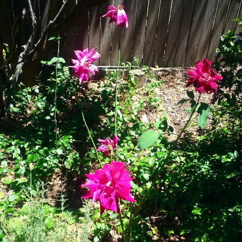 too-hot-for-the-flowers-canberra-australia-10th-january-2016-garden-sonya-heaney-nature