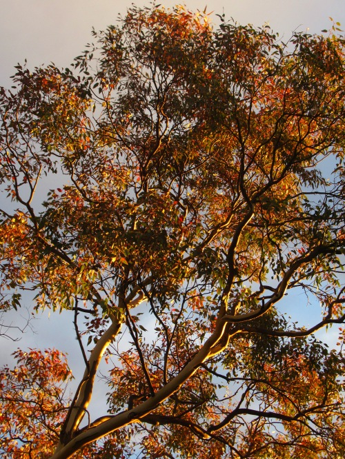Autumn Light Canberra Australia Sonya Heaney 17th March St Patrick's Day 2017 Eucalyptus Stree Gum Tree Tuggeranong Garden Trees Nature