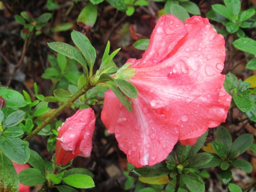 Autumn Flowers Garden Canberra Australia After the Rain Sonya Heaney 26th April 2017 Nature