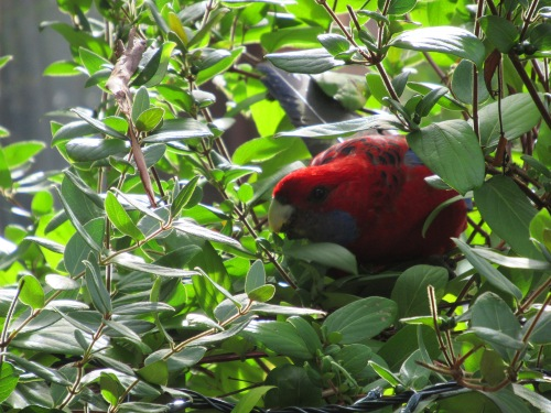 Crimson Rosella Tuggeranong Canberra Australia Garden Autumn Sonya Heaney 4th April 2017
