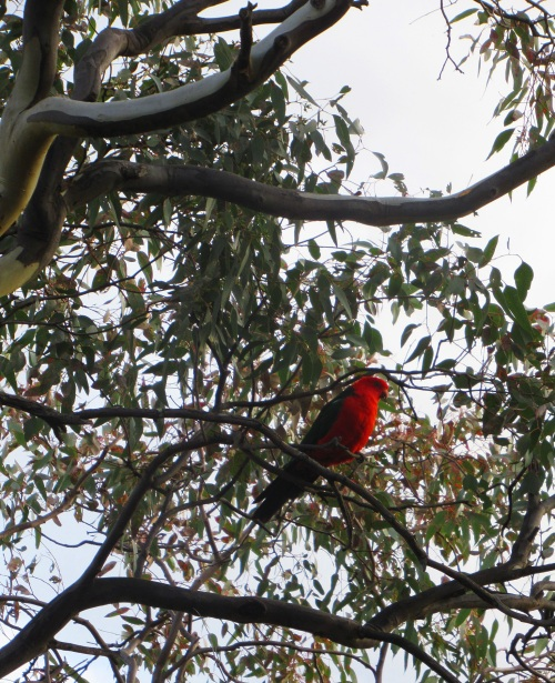 King Parrot Garden Tuggeranong Canberra Australia Sonya Heaney 12th April 2017 Autumn Bird Nature