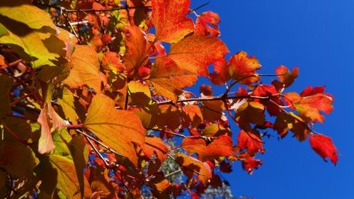 Autumn Colours Autumn Leaves Canberra Australia Sonya Heaney Oksana Heaney 3rd May 2017 Garden Nature Blue Sky.