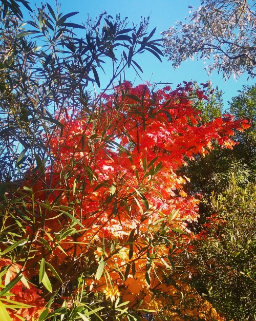 Autumn Leaves Autumn Colours Tuggeranong Canberra Australia Sonya Heaney 10th may 2017 Garden nature