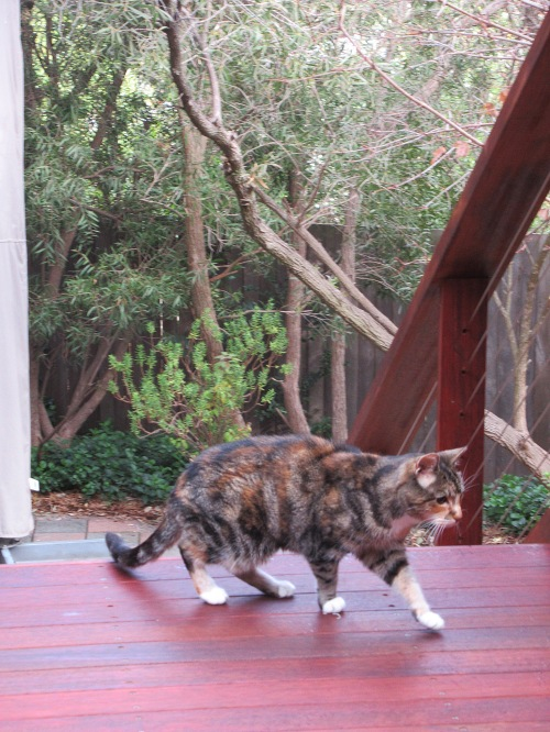Blind Calico Cat Canberra Australia 26th May 2017 Sonya Heaney Cute 1