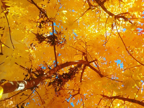 Canberra Sunny Autumn Afternoon Autumn Leaves Autumn Colours Sonya Heaney Blue Sky Sunny Afternoon 16th May 2017
