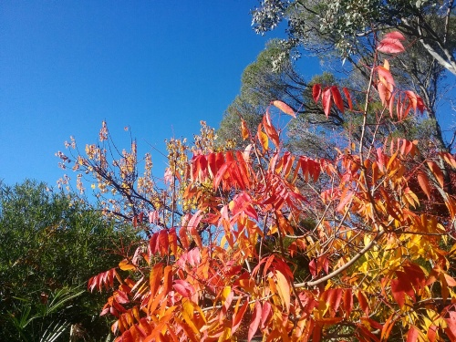 Canberra Sunny Blue Sky Autumn Morning Autumn Leaves Autumn Colours Sonya Heaney 20th May 2017 Garden Nature 1