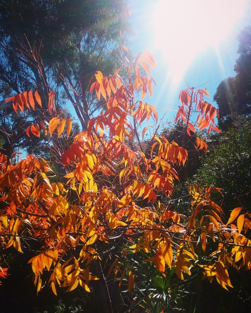 Canberra Sunny Blue Sky Autumn Morning Autumn Leaves Autumn Colours Sonya Heaney 20th May 2017 Garden Nature 2
