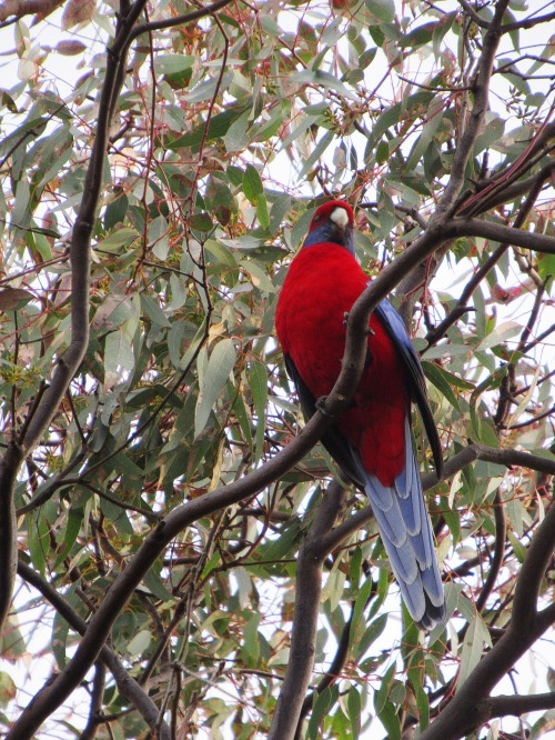 Crimson Rosella Canberra Australia Sonya Heaney Eucalytpus Tree Gum Tree 12th May 2017 Garden Nature