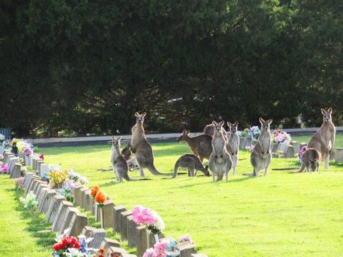 Kangaroos Queanbeyan Lawn Cemetery Australia 6th May 2017 Sonya Heaney 1