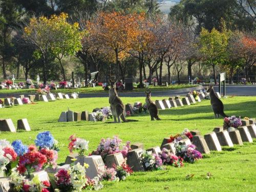 Kangaroos Queanbeyan Lawn Cemetery Australia 6th May 2017 Sonya Heaney 2