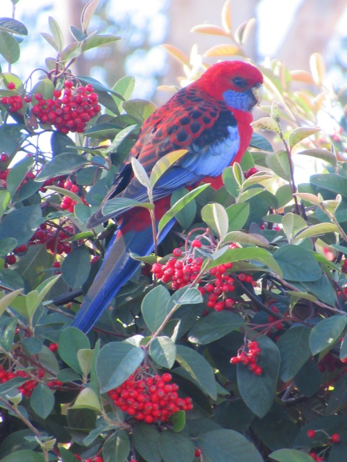 The end of Autumn Eating Berries Crimson Rosella Sonya Heaney Canberra Australia 31st May 2017 Garden Bird Nature