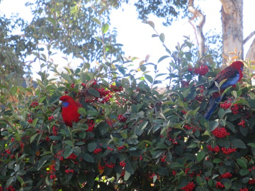 The end of Autumn Eating Berries Crimson Rosella Sonya Heaney Canberra Australia 31st May 2017 Garden Birds Nature