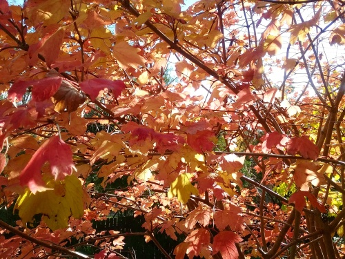 The last of the Autumn Leaves Sonya Heaney Canberra Australia 13th May 2017 Garden Autumn Colours Nature