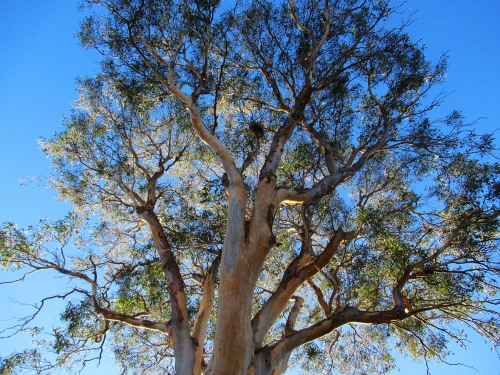 Blue Sky Sunshine First Day of Winter Canberra Australia Eucalyptus Tree Gum Tree Sonya Heaney 1st June 2017 Garden Nature